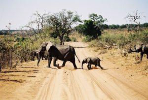 Elephants of Africa - photo by Thomas Schueneman
