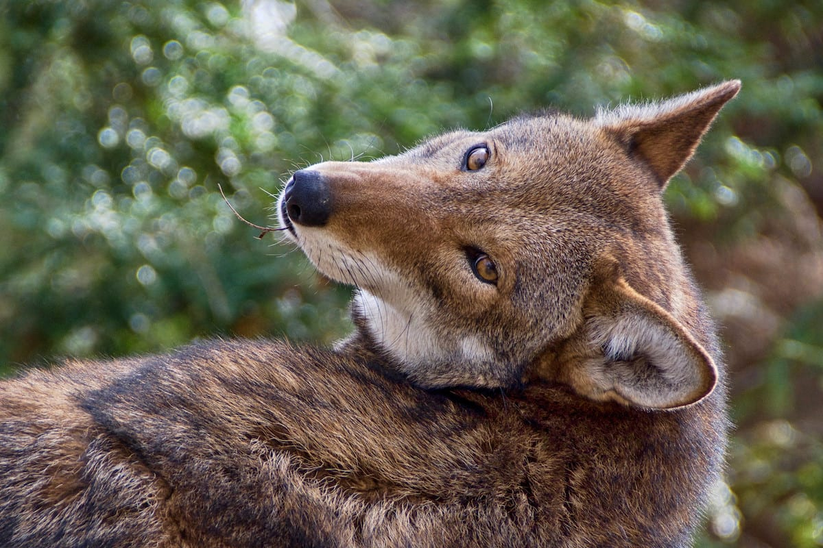 Court Rules Fish and Wildlife Service Develop New Recovery Plan for Endangered Red Wolves